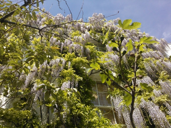looking upwards to a house covered in wisteria in north london
